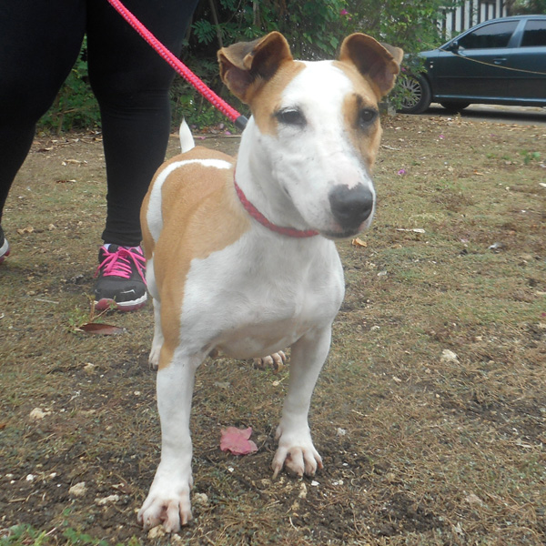 Rosie For Adoption Female Jack Russell Bull Terrier Mix The Ark